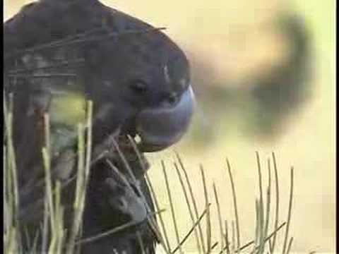 Glossy Black Cockatoo feeding in the wild