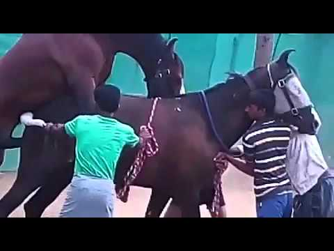 Video Marwari horse matting Indian breed war horse download in MP3, 3GP, MP4, WEBM, AVI, FLV January 2017