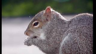 Squirrels are considered wildlife in most states, and within these states, they can't be adopted without a rehab license. Find out why a person should never ...