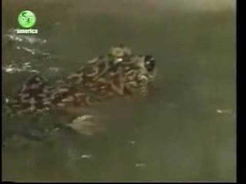 自以為是的青蛙,竟然生吞小鳥!