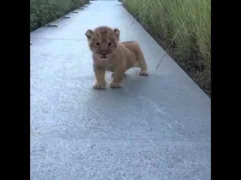這隻一出場就來個「咆哮」的獅子寶寶會讓你一秒內就瞬間融化!