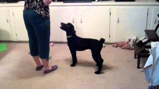 Beginnning Zara's (My Standard Poodle)  Training