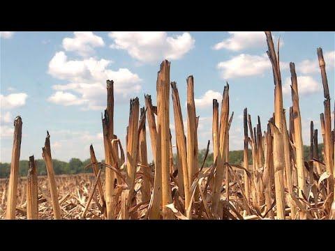 Bauern erwarten eine Jahrhundert-Missernte wegen anhaltender Trockenheit und Hitze
