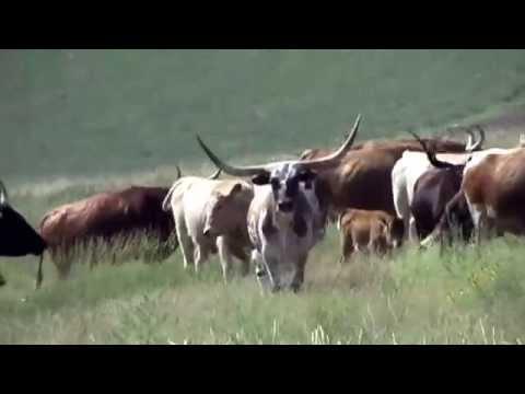 Great Western Cattle Drive