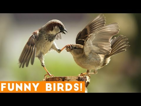 Funny clips - Funny Parrot & Bird Videos Weekly Compilation 2018  Funny Pet Videos