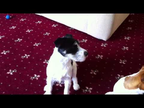Jack Russell barking