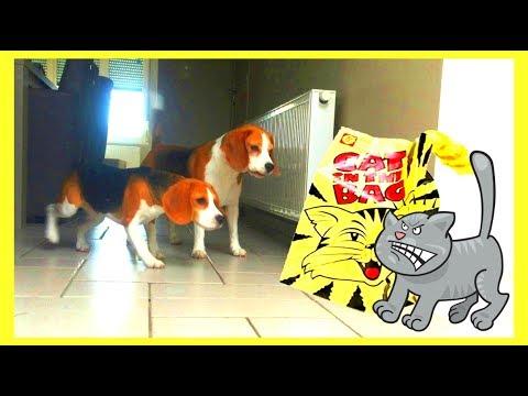 cute beagles vs cat in the bag!