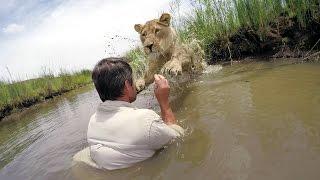 Zignorował wszelkie ostrzeżenia i odważył się podejść do lwicy, którą uratował 7 lat temu.