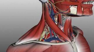 Neck Anatomy - Organisation Of The Neck - Part 2