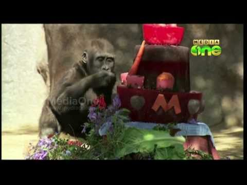 Gorilla at San Diego Zoo Safari Park celebrates 2nd birthday