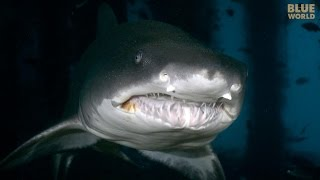 Nonton Sand Tiger Sharks Of North Carolina   Jonathan Bird S Blue World Film Subtitle Indonesia Streaming Movie Download