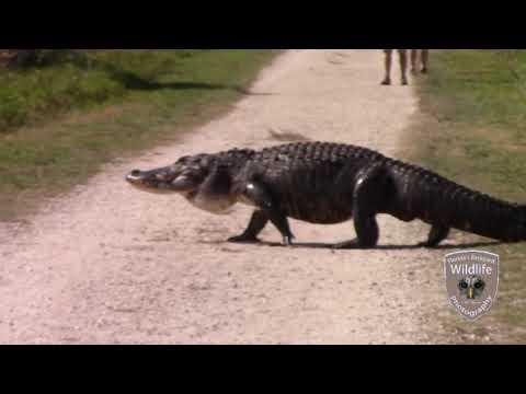 Massiivinen alligaattori ylittää tietä – ihmiset eivät huomaa hengenvaarallista yksityiskohtaa selkänsä takana