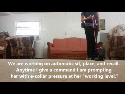 Nervous Chihuahua E-Collar Board & Train- Take the Lead K9 Training