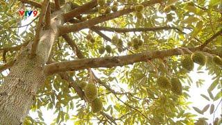 Cách dưỡng trái sầu riêng từ 0,2kg đến thu hoạch