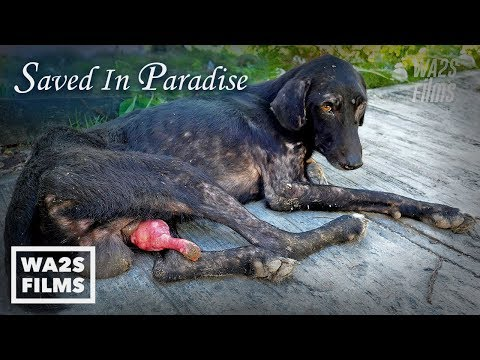 Hope Saves Dogs in Punta Cana #StrayDogCity - Snipped In  Paradise *Full Movie*