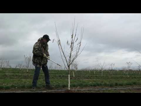 Pruning for an open center