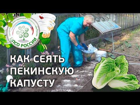 Выращиваем капусту. Как посеять капусту пекинскую.