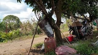 Nên thả gà vào vườn cây ăn trái đúng thời điểm và mật độ để người dân thêm lợi nhuận