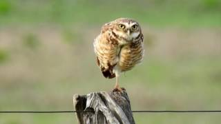Owls feeling threatened by the presence of the cameraman, Burrowing Owl,