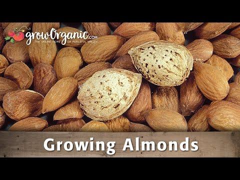 Growing Almonds