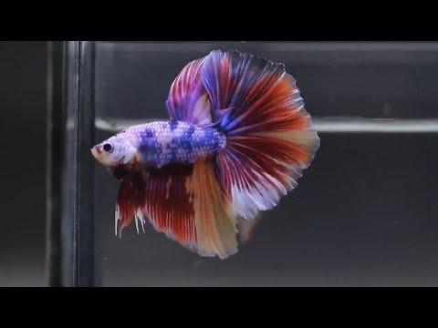 Exotic HM Koi Nemo Candy Multicolor Avatar Betta Fish - Colorful Halfmoon Betta Fish