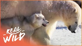 Husky Playing With Polar Bears | Wild Things