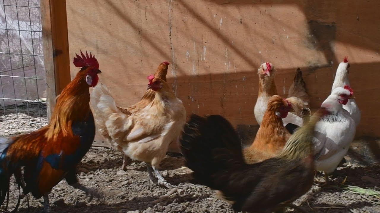 Οι κότες με τα πράσινα αυγά