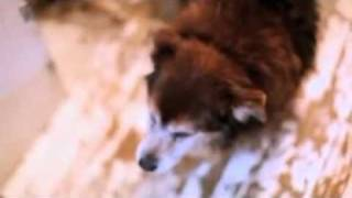 Dog Breeds - Shih Tzus