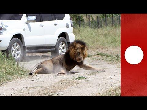 Stray lion attacks local man, shot by wildlife rangers, Kenya
