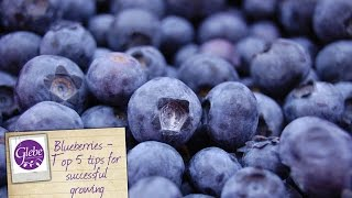 In this video Mike tells you his top 5 tips for the most successful blueberry growing. He also shows you the varieties we have on sale.Visit http://www.glebegardencentre.co.uk for more information about Glebe Garden CentreLike us on Facebook - http://www.facebook.com/glebegcFollow us on Twitter - http://www.twitter.com/glebegc+1 us on Google - https://plus.google.com/b/103817263936258828598/+GlebeGardenCentre