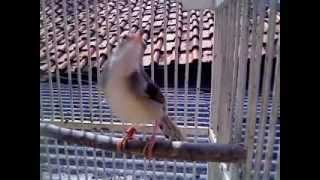 Download Video CIBLEK JANTAN ANAKAN NGRIWIK part 2 MP3 3GP MP4