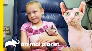 Adorable 'Dwelf' Cat Brings A Smile To Young Cancer Patients' Faces | Cats 101 by Animal Planet