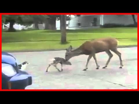 Video Deer VS Cat voiceover download in MP3, 3GP, MP4, WEBM, AVI, FLV January 2017