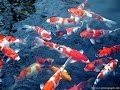 Ikan Koi Ajaib- Pura tirta empul tampak siring