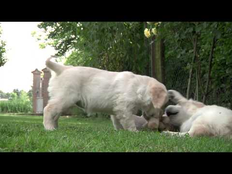 golden retriever puppies playing outdoors