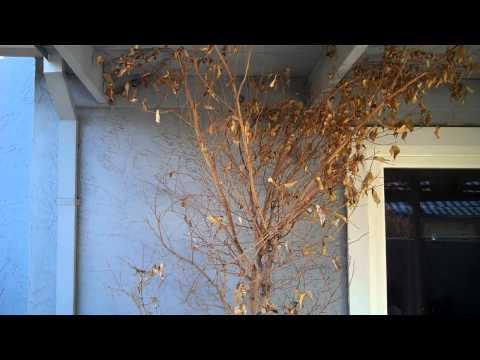 Ficus Tree Survival Story Part I Revival.mp4
