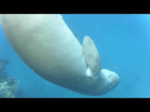 dugong danse