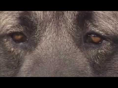 Qeni apo ujku, ja çfarë ndodh kur ndeshen me njëri-tjetrin (Video)