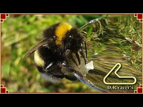 Feeding a hungry bumblebee
