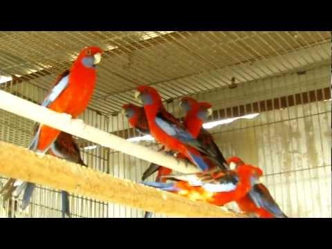 Parrot Facts – Crimson Rosella aviary