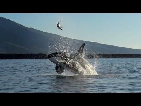 Wal spielt mit Schildkröte