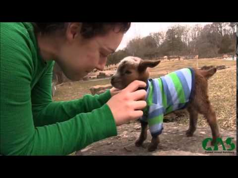 Watch this baby goat climb her first rock :)