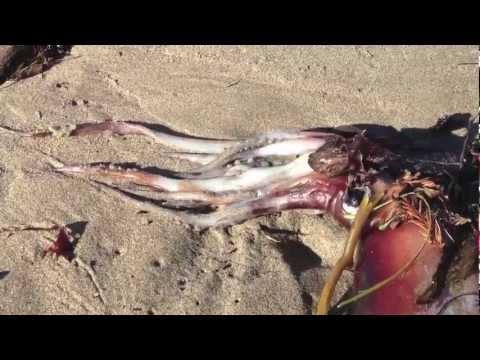 calamares muertos