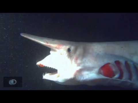 pescano uno squalo mostruoso!