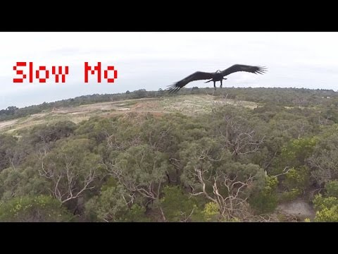Viral Video:  This Eagle Has Had His Fill of Drones