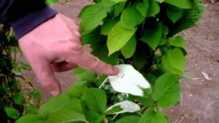 #358 Die Sommerkiwi fruchten schon im Topf