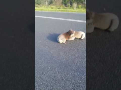 Woman saves two koalas fighting in the middle of the road