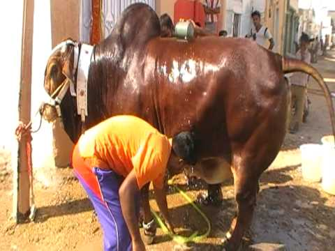Qurbani in landhi 2010 Bablu having bath in landhi .MOD