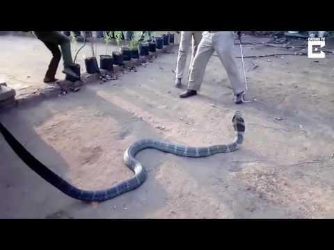 Spragniona jadowita kobra pije wodę z butelki