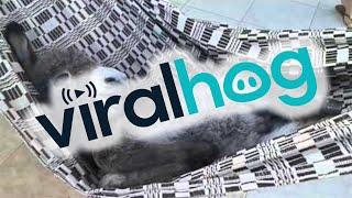 Donkey In A Hammock || ViralHog